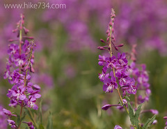 """Fireweed • <a style=""""font-size:0.8em;"""" href=""""http://www.flickr.com/photos/63501323@N07/9459343856/"""" target=""""_blank"""">View on Flickr</a>"""