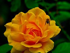 A Fly by.Explored (Omygodtom) Tags: park macro art nature rose yellow digital nikon bokeh tammy tamron tamron90mm dk7 simpleflowers d7000