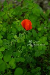 2013/05/27,哈萨克斯坦,阿拉木图市。路边的野花,后来六月在摩尔多瓦看到田野里间夹着很多。...