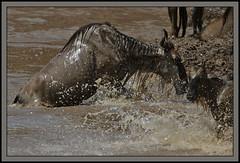 A triumph of will against the odds! (Rainbirder) Tags: kenya maasaimara bluewildebeest connochatestaurinus maramigration rainbirder