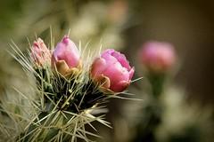Para qu sirven las espinas? (Greitas) Tags: flores flor antoinedesaintexupry opuntia nopal espinas elprincipito greitas angelanavabolaos lunalegna