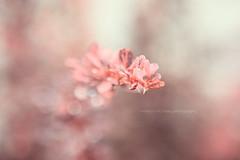 Pink Bokeh (Becky McCreary) Tags: pink flowers flower rose garden petals stem bokeh pastel shades pinks