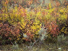 A touch of Autumn-Grand Teton (moelynphotos) Tags: autumn fallleaves leaves wyoming nationalparks grandteton grandtetonnationalpark moelynphotos dirtcheapphotostour