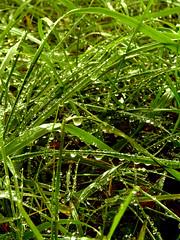Dew (iLatoyan) Tags: green grass dew freshness