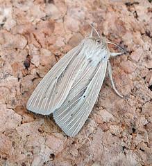 Smoky Wainscot. Mythimna impura. Noctuidae (gailhampshire) Tags: noctuidae smoky wainscot mythimna impura taxonomy:binomial=mythimnaimpura