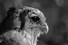 The wise one (Ron Jansen - EyeSeeLighT Photography) Tags: light blackandwhite bw netherlands monochrome grey owl wise tones enschede ugle uil dragonheart milkyeagleowl d7000 ronjansen silverefexpro2