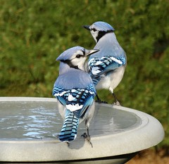 Blue Jays at the Frozen Bird Bath (KoolPix) Tags: ice nature water birds animals frozen birdbath feathers bluejays naturephotography beaks naturephotos jayd naturephotographer frozenbirdbath animalphotographer koolpix photocontesttnc12 jaydiaz jaydiaznaturephotographer photocontesttnc13 dailynaturetnc13 wcswebsite photocontesttnc14 dailynaturetnc14