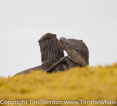 European Otter (Lutra lutra) 29 Oct-10-42674 (tim stenton www.TimtheWhale.com) Tags: wild mammal scotland tim innerhebrides argyll otter isleofmull mull hebrides mustelid lutralutra europeanotter landmammal eurasianotter timstenton otrbo wwwtimthewhalecom otrpb