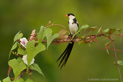 Pin-tailed Whydah (hvhe1) Tags: africa male bird nature animal wildlife canoeing songbird bindweed convolvulaceae winde gabia pintailedwhydah viduamacroura specanimal dominikanerwitwe dominikanerwida hvhe1 hennievanheerden marakissarivercamp