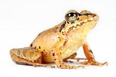Pristimantis w-nigrum (Santiago Ron) Tags: macro amazon amphibian frog andes sapo rana anura amphibia