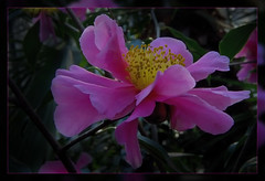 Pink Beauty (scorpion (13)) Tags: pink winter color nature flora blossom walk cologne visit exhibition greenhouse frame camellia photoart