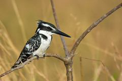 Pied Kingfisher (Ceryle rudis) perched on a branch (Dave Montreuil) Tags: africa white black bird beautiful cool nice pretty profile kingfisher westafrica friendly gambia perched senegal lovely pied staring perching ceryle rudis amicable