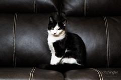 _35A0390.jpg (Scott Shingler Photography) Tags: portrait pet white black cute leather cat kitten feline kitty couch domestic checkers