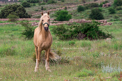 (MAIKA 777) Tags: horse caballo cheval flickr getty cavallo gettyimages cavall castellón palomino palominohorse elsports canon70200mmf28lisusm img5137 aresdelmaestre altomaestrazgo canoneos7d maika777 loquetedigalarubia