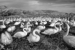 Mute Assembly (Tony Gill) Tags: monochrome ir swans dorset infrared mute assembly abbotsbury swannery