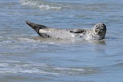 DSC_1633 gewone zeehond