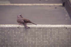 Kissing Pigeon  (Enoch K. N. LEUNG) Tags: bird love beautiful hongkong nikon kiss warm hong kong romantic lovely     tuenmun    d3100