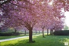 Cherry Blossom Trees (AndreaKamal.com) Tags: morning trees spring hamburg cherryblossom sakura frhling  kirschblten japanischekirschblte fiorediciliegio