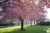 Cherry Blossom Trees (AndreaKamal.com) Tags: morning trees spring hamburg cherryblossom sakura frühling ساكورا kirschblüten japanischekirschblüte fiorediciliegio