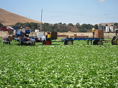 IMG_1153 (heajohnson76) Tags: california people places credit produce ucd farmworkers leafygreens handpicking headlettuce montereyco davidgoldenberg packingpackaging growingpractices harvesthandling singleharvest