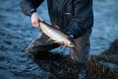 IMG_4541 (Byskan) Tags: river spring sweden release may catch sverige trout seatrout cr maj vår salmo catchandrelease catchrelease trutta öring byske byskeälven havsöring byskanse byskan återutsättning