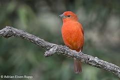 Hepatic Tanager, sanhaçu-fogo (eisenrupp) Tags: minas gerais birding aves da brazilian cerrado serra canastra merganser patomergulhão