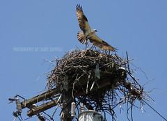 Osprey leaving the nest.
