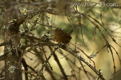 """Pacific Wren • <a style=""""font-size:0.8em;"""" href=""""http://www.flickr.com/photos/63501323@N07/14314301055/"""" target=""""_blank"""">View on Flickr</a>"""