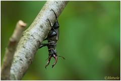 Vliegend hert (Lucanus cervus) (7D028947) (Hetwie) Tags: nature insect nederland natuur limburg kever stagbeetle lucanuscervus jabeek zeldzaam vliegendhert hertkever
