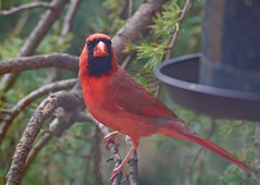 Do I know you? (ineedathis,The older I get the more fun I have....) Tags: redcardinal portrait northamericanbird cardinaliscardinalis bird avian feeding seeds birdfeeder male weepingatlascedar needles bokeh garden nature eyes winter beak feathers ornamentaltree brown red black closeup zoom nikond750 tree branch green tuft crest outdoor