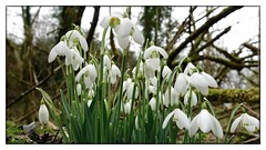 Snowdrops in the Derbyshire Dales (jeannie debs) Tags: wildflowers flowers snowdrops white green nature bokeh wednesdays creative shapes woods hbw
