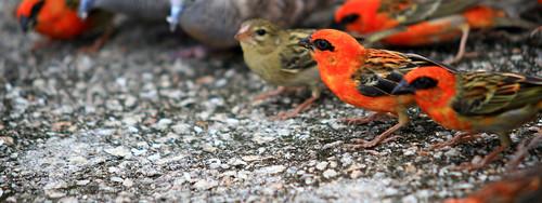 cardinal seychellois