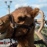 "camel <a style=""margin-left:10px; font-size:0.8em;"" href=""http://www.flickr.com/photos/78391478@N08/32648746244/"" target=""_blank"">@flickr</a>"