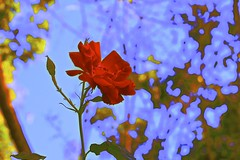 Rose Abstract Asserting! (maginoz1) Tags: flowers abstract art rose contemporary manipulate autumn march 2017 bullarosegarden bulla melbourne victoria australia canon g3x