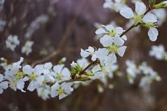 Spring Blossoms (rolandmks7) Tags: sonynex5n freelens freelensed freelensing blossom blossoms flowers steinheil 35mm