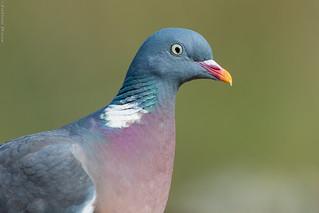 Pigeon ramier Columba palumbus - Common Wood Pigeon