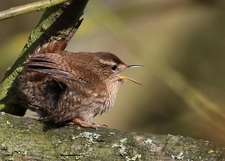 Wren ANR 24th Feb 2017