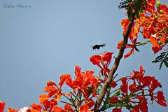 (biologocelio) Tags: biologocelio fotobaturalismo canon sx60 arthropoda insecta hymenoptera apidae xylocopinae xylocopini xylocopa abelha mamangava bee bumblebee