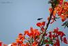 (Célio Moura Neto) Tags: biologocelio fotobaturalismo canon sx60 abelha mamangava bee bumblebee brasil brazil arthropoda insecta hymenoptera apidae bombini bombus
