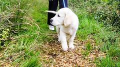 Charlie walking (Mark Rainbird) Tags: dog powershots100 ufton canon retriever uk puppy uftonnervet england unitedkingdom gb