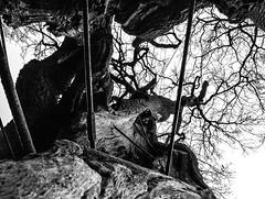 Turning Away… (Arjan Grendelman) Tags: arjangrendelman blackwhite leica tree netherlands old lyrics lightroom6 digilux2