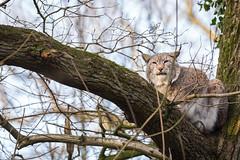 Up in a tree (The Wasp Factory) Tags: eurasianlynx lynx eurasischerluchs nordluchs luchs lynxlynx wisentgehegespringe wisentgehege springe wildpark tierpark wildlifepark lowersaxony niedersachsen