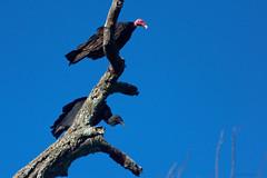 Buitres observando (javierinsitu) Tags: buitres bird birds chaco argentina 70300 sky cielo azul observando warning nature naturaleza