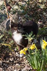 Cat (ambrasimonetti) Tags: spring flower flowers daffodil cat printemps primavera gatti giunchiglie narcisi crocus zafferano macro