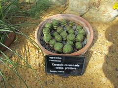 Crassula columnaris subsp. prolifera