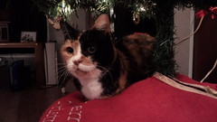 Autumn (universalcatfanatic) Tags: cats autumn tortoiseshell tortie calico orange black white cat lay laying top brown wood wooden table red blanket under underneath christmas tree light lights ornament ornaments living room livingroom artificial fake xmas garland air filter window curtain curtains cord wire tall