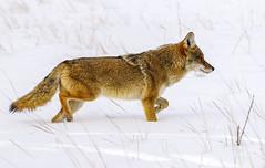 Coyote in Snow (BernieErnieJr) Tags: snow winter colorado coloradowildlife wildlife sonya99 sony70400mmg2 frontrange greatphotographers teamsony rockymountains cherrycreekstatepark aurora coyote bernie duhamel