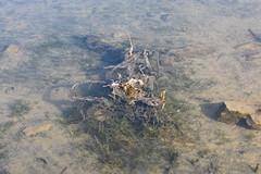 Puestas de Anura (esta_ahi) Tags: planadancosa renacuajos capgrossos anura amphibia aigua agua estany estanque lallacuna anoia barcelona spain españa испания puesta huevos