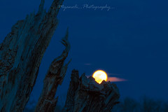 Moonrise (Myanoli) Tags: full moon vollmond baum tree night nacht natur nature nachtaufnahme outdoor canon 70d rise moonrise mondaufgang