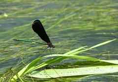 Dragonfly Creek (David K. Werk) Tags: dragonfly insect bug wing creek black green japan summer water wet landed resting